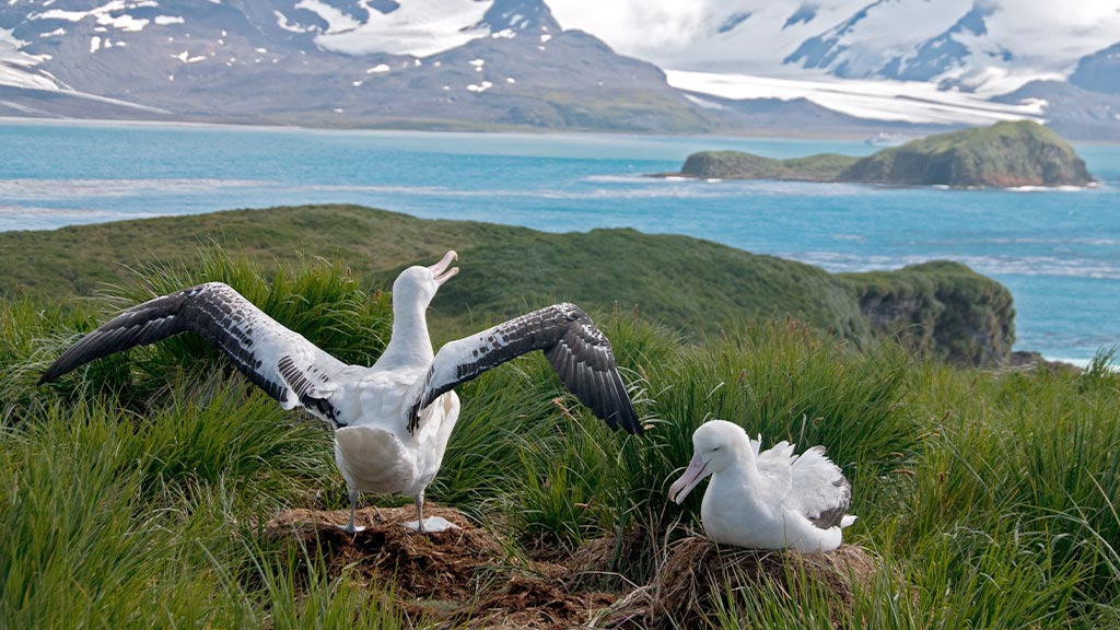 South Georgia Nesting Wandering Albatross 2