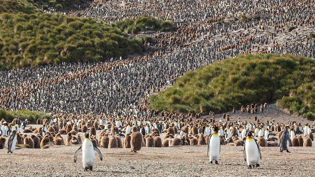 South Georgia Salisbury Plain King Penguin Colony 1