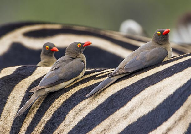 Africa South Buffalo Weaver search
