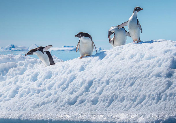Antarctica Penguins Iceberg search