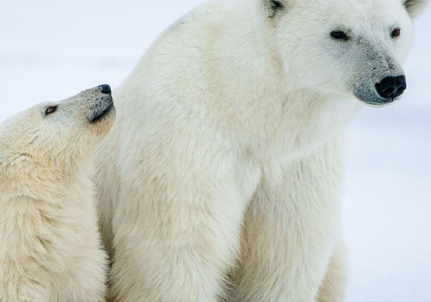 Arctic Polar Bear Family search