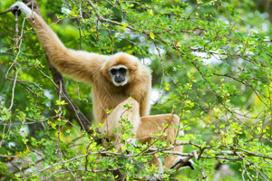 The Crested Gibbon