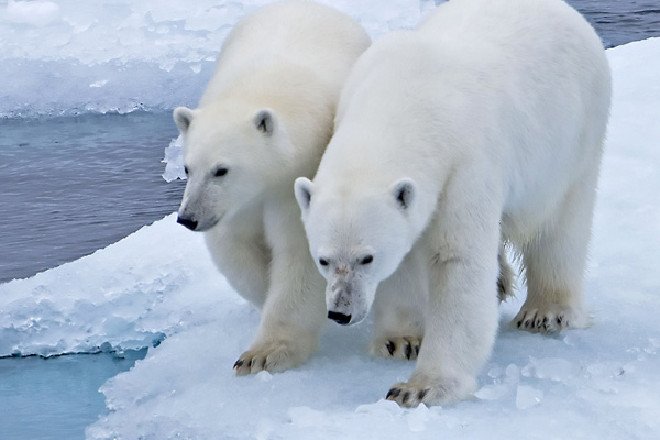Two Polar bears walking