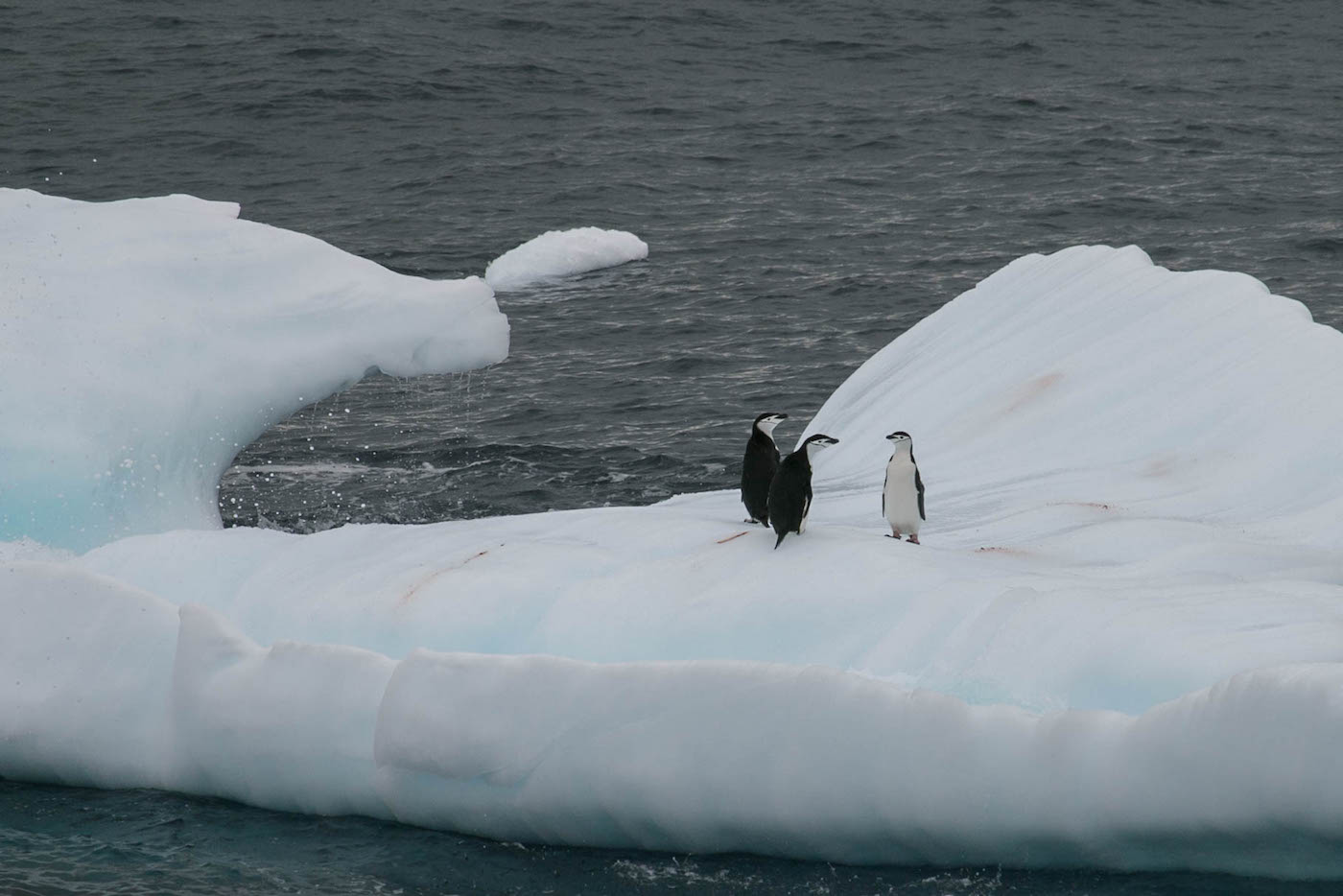 Chinstrap Penguins On An Iceflow