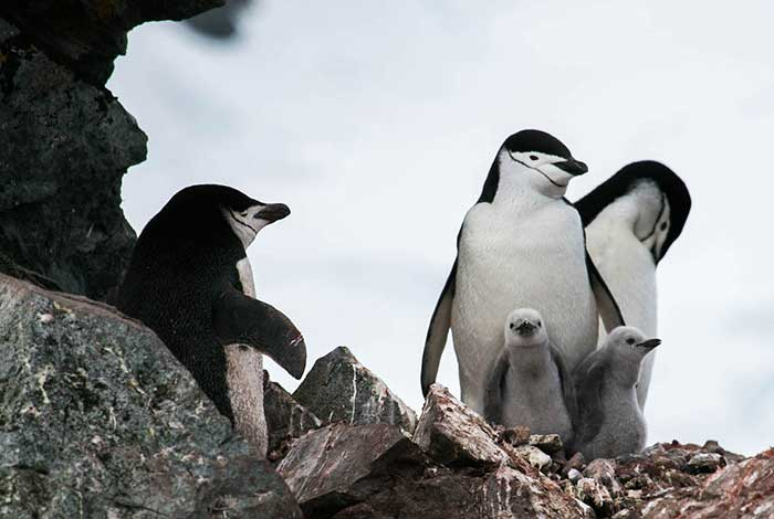 Chinstrap Penguin And Chicks At Halfmoon Island