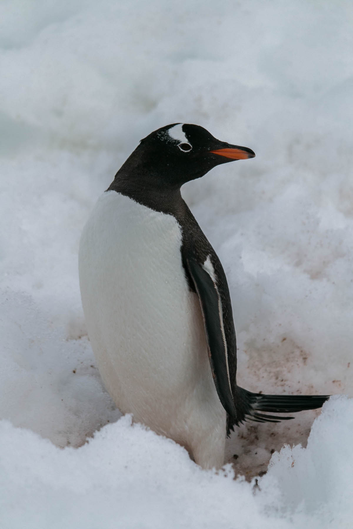 3Jan_Day12_GentooPenguinAtCuvervilleIsland