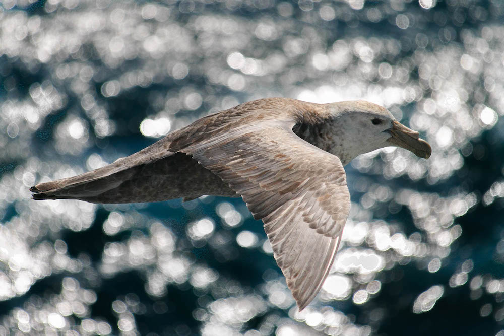 Southern Giant Petrel Bird Watching