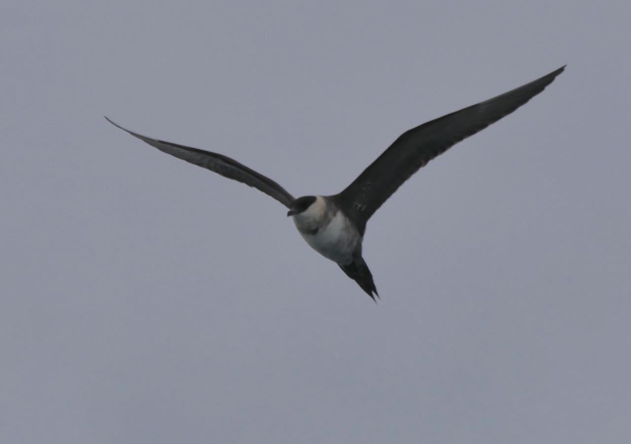 Curious Long-tailed Jaeger