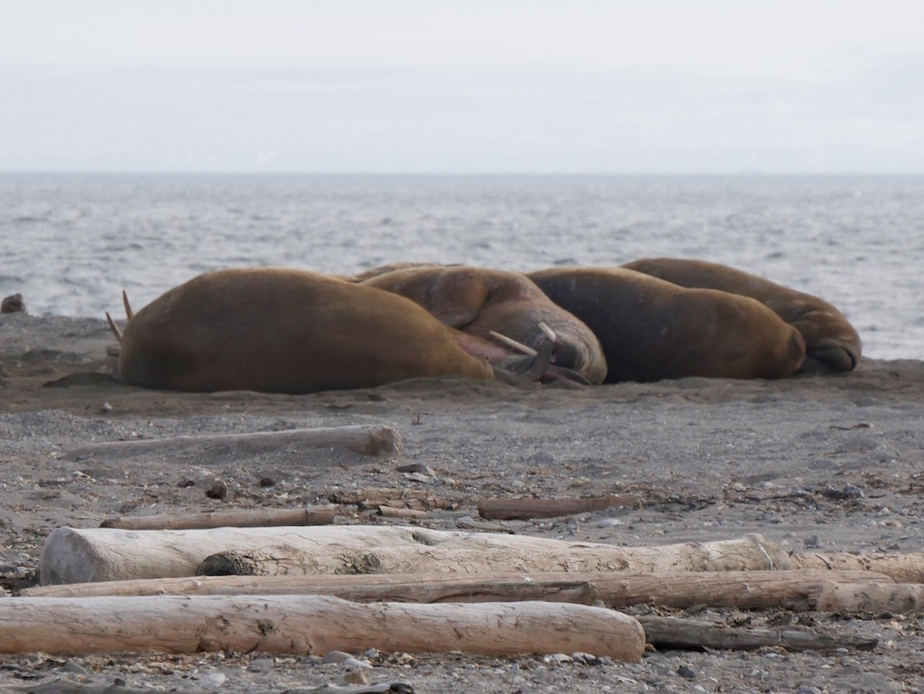 Sleeping walrus