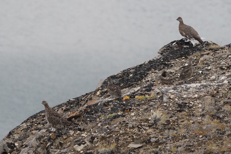 Rock Ptarmigan family