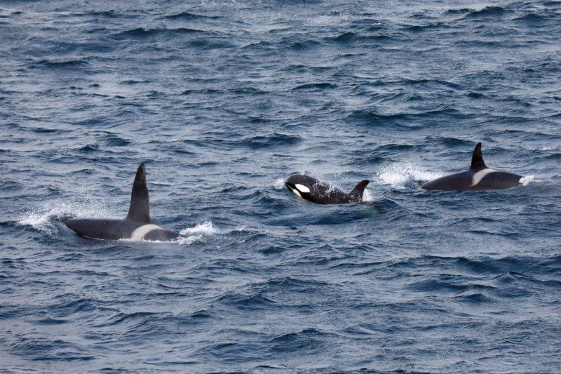 orca-whales-on-approach-to-iceland