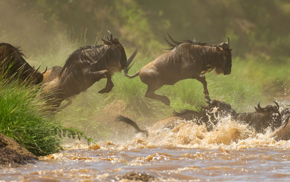 Witness the Breathtaking Great Migration