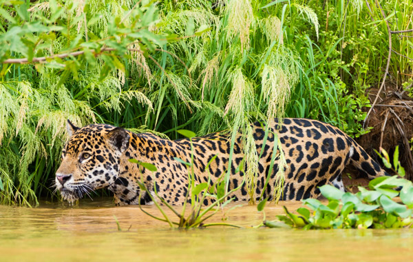 South America Brazil Pantanal Adventure Jaguar