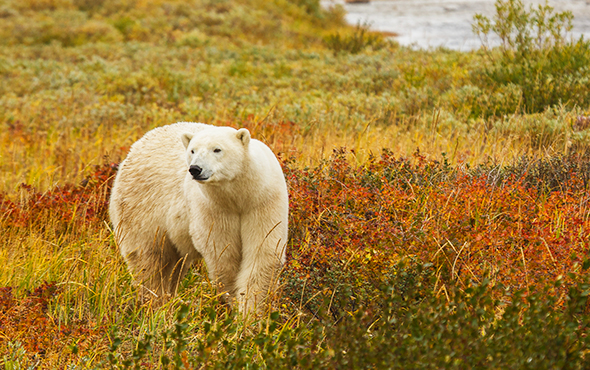 Americas-Canada-Polar-Bear-SR