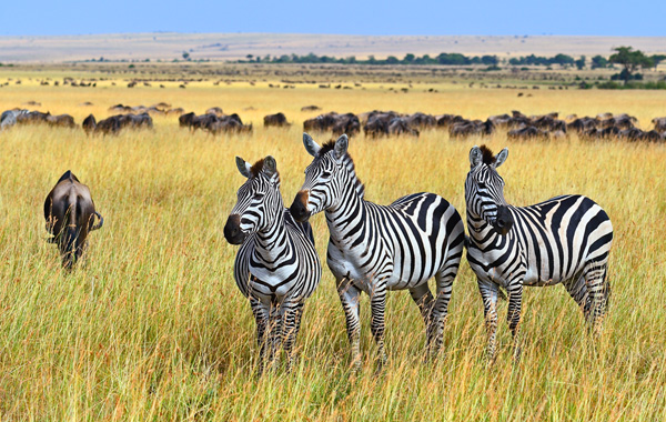 Great-Migration-Safari-Style-Zebra-Masai-Mara-2 (1)