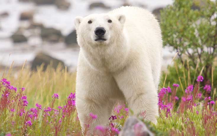 Tailor Made Canada: Polar Bears of Hudson Bay