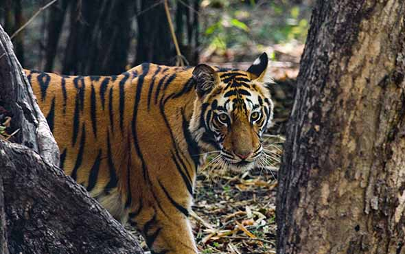 India Wildlife Safari: Lions, Tigers & Leopards