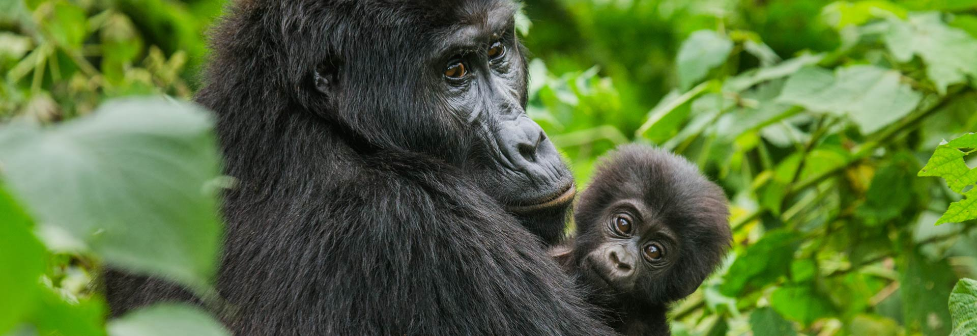 East Africa Uganda Bwindi Impenetrable Forest