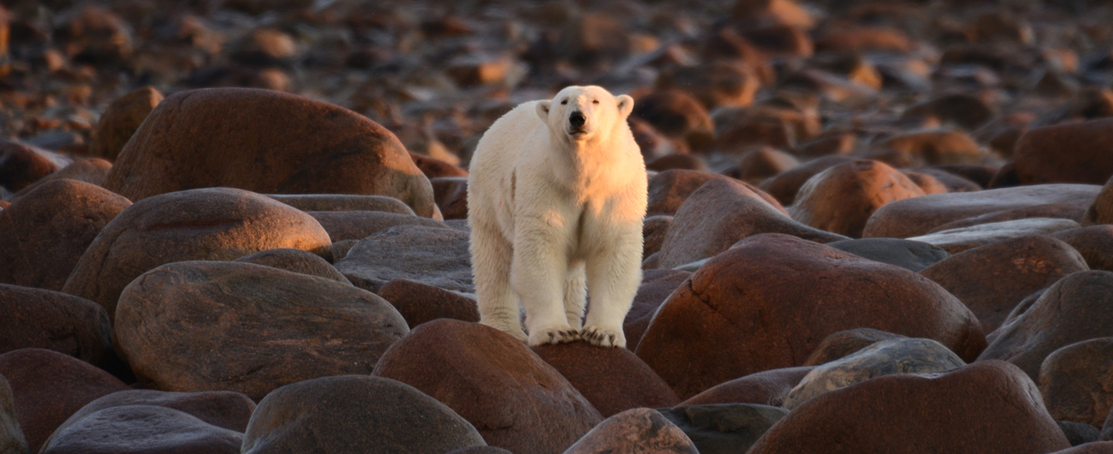 Tailor Made Canada Polar Bears Of Hudson Bay Abercrombie Kent