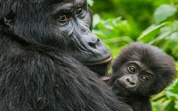 Africa East Africa Uganda Bwindi Impenetrable Forest National Park
