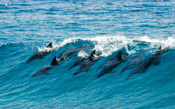 Africa Mozambique Benguerra Island Dolphins