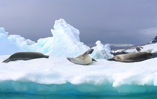 Antarctica Iceberg Three Elephant Seals
