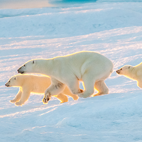 Arctic Three Polar Bears Running