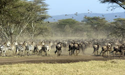 Great migration Zebras