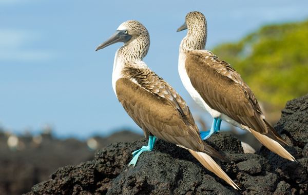South America Galapagos Blue Footed Booby