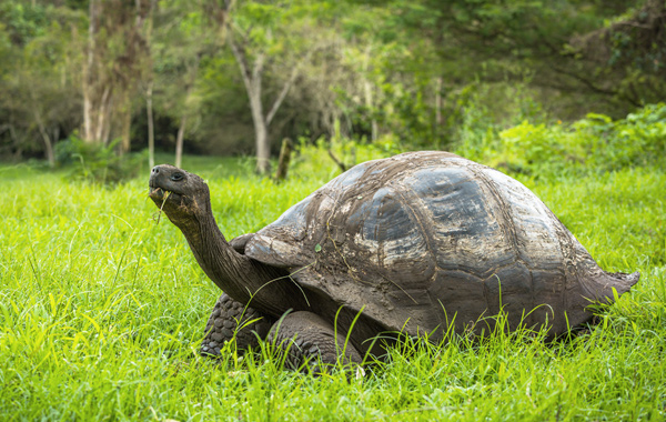 South America Galapagos Giant Tortoise