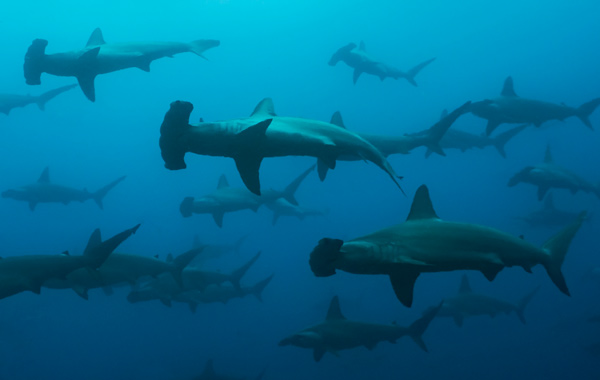 South America Galapagos Hammerhead Shark