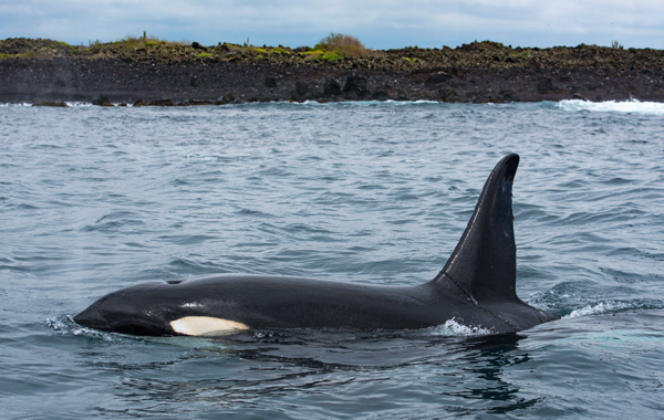 South America Galapagos Killer Whale