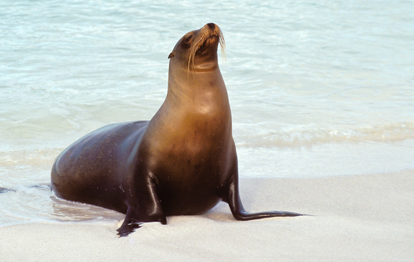 South America Galapagos Sea Lion
