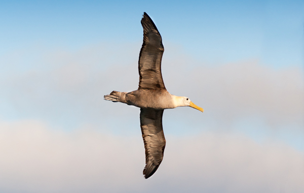 South America Galapagos Waved Albatross