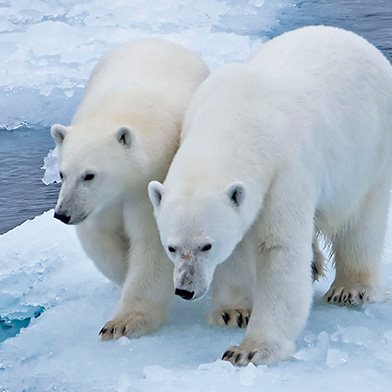Arctic Northwest Passage Polar Bears