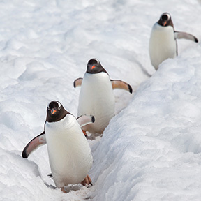 Antarctica Cuverville Three Gentoo Penguins