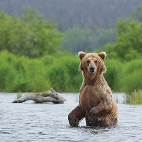 North America Alaska Bear