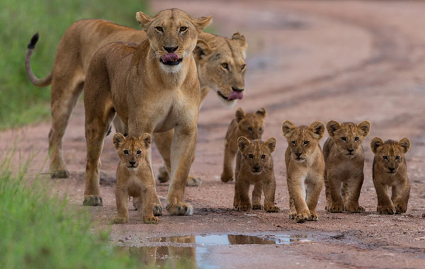 Africa-Family-Lions-2
