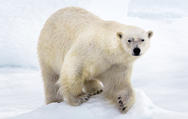 Arctic Polar Bear Closeup